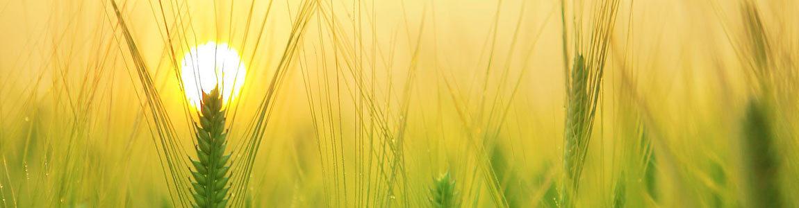 the sun behind a wheat field